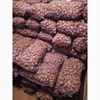 Продам семенной картофель, сорт яславян