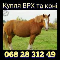 Куплю ВРХ та коні. Вінницькій, Хмельницькій, Київській та сусідніх областях