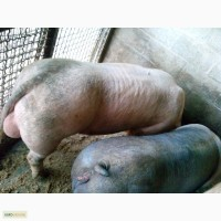 Продам поросят кнуров свиней ремсвинок Пьетрен дюрок беркшир венгерский великан мангалица