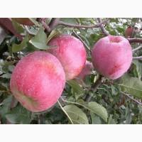Яблоня Слава Победителям и др. саженцы яблони