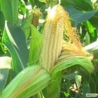Насіння кукурудзи - Limagrain, Euralis, Оржиця, Полтава, Солонянський