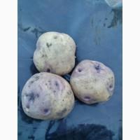 Продам картофель белый с фиолетовыми глазками
