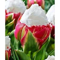Продам луковицы тюльпана Ice Cream