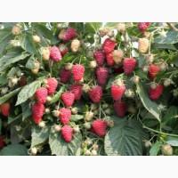 Продам саджанці малини сорт Полана