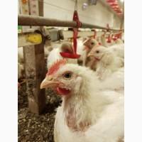 Продам курицу породы Кобб 500 живым весом