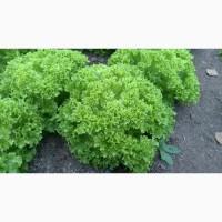 Куплю зеленый салат