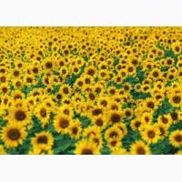 Продамо якісне насіння соняшнику