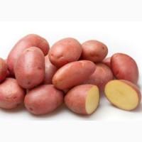Продам домашню картоплю Белла Роса 1 тонну
