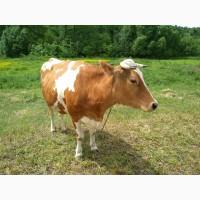 Продам дві корови перша чистий сементал