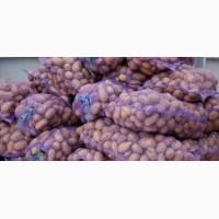 Продам картофель, сорт: Ривьера, Тирас. Мытая