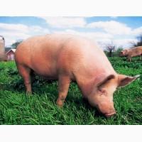 Продам свиней живим весом