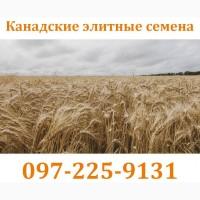 Семена озимой пшеницы CANMOR, озимый элитный канадский сорт