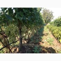 Виноград столовый оптом от производителя в Запорожской области. Большой Объём