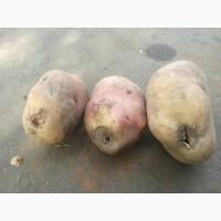 Продам некондиционный картофель! Сорт - Иван да Марья