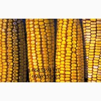 Семена посевной кукурузы кукурузы ДКС3511, ДК315, Джи Хост, Маис, Рост Агро