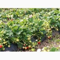Продам саджанці -малини, ожини садовой, клубники