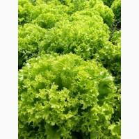 Оптом салат Бионда, Лолла-Росса
