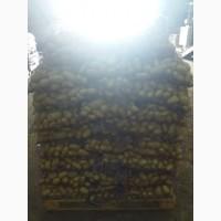 Продам мытый картофель, сорт Королева Анна