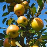 Яблоня Опал