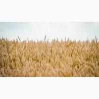 Озимая пшеница Чорнява