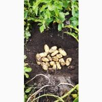 Продам картоплю насіневу, Королева Анна, Наташа, Гранада