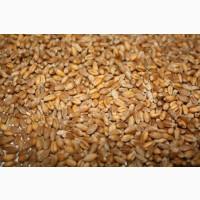 Куплю пшеницу, отходы пшеницы на постоянной основе