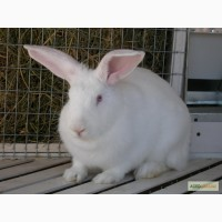 Продам кролів скороспілої породи ТЕРМОНСЬКА
