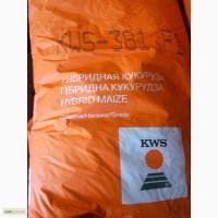 Продам гібрид кукурудзи КВС-381