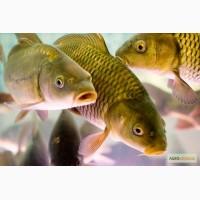 Продам речная рыба опт