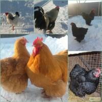 Продам инкубационные яйца кур, мясояичных пород