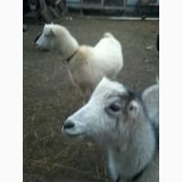 Продам молодняк кіз породи Ламанча