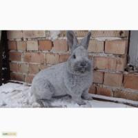 Продам молодняк кролів породи БСС та Європейське срібло