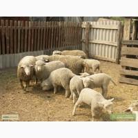 Продам вівці, ягнята