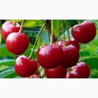 Вишня и Черешня на подвой антипка Питомник выращивает саженцы плодовых деревьев, есть опт