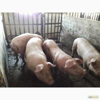 Продажа свиней мясного направления оптом 115 кг средний вес