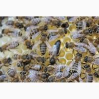 Продам бджоломатки карпатки у 2018р