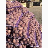 Продам семенной картофель, сорт Беллароза