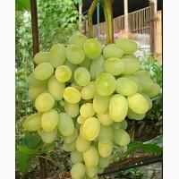 Саджанці винограда Августин