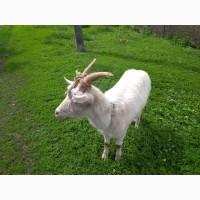 Прдам дойную козу