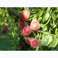 Продам саженцы персика, сливы