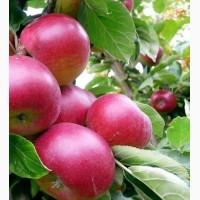 Продам яблука, сорти Чемпіон Рено, Рубінола, Айдаред, Флоріна, Голд Стар