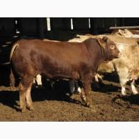 Закуповуємо ВРХ (бики, корови, телята, свині, коні)