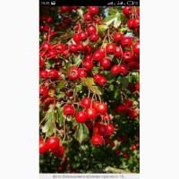 Купим цвет с листом боярышника, высушиные плоды., рябину красную, шиповник.Смовывоз от 1т