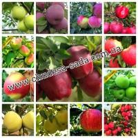 Саженцы плодово ягодных культур опт и розница