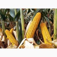 ТОВ Агрофірма Колос Пропонує насіння кукурудзи