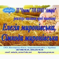 Пропонуємо насіння ярої пшениці Елегія миронівська