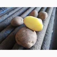 Продаём картофель оптом