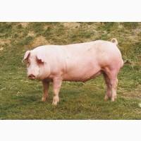 Продам свиней живым весом бекон