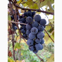 Куплю виноград на заморозку синій