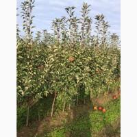 Фермерське господарство реалізує саджанці яблуні на підщепі ММ-106
